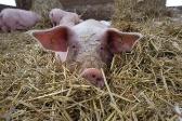 QMS_Pigs_AR