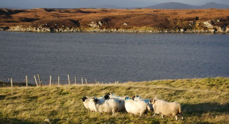 Uist Wool Lochport flock