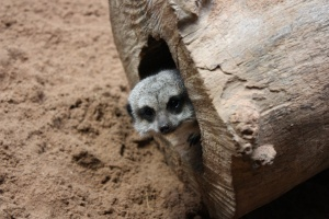 28960_Small-Meerkat