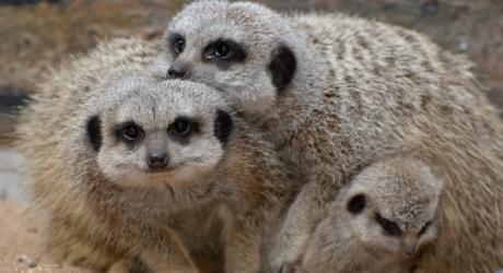 Meerkats, St Andrews Aquarium, 7th April 2011