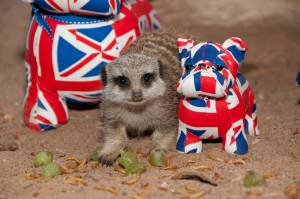 29788_Royal-Wedding-Meerkat