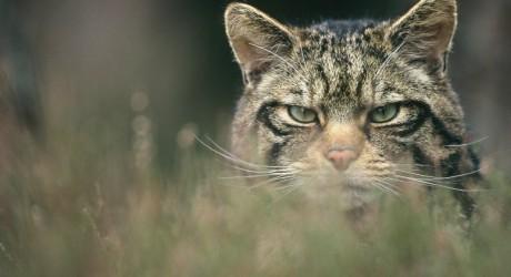 31156_Wildcat-Peter-Cairns