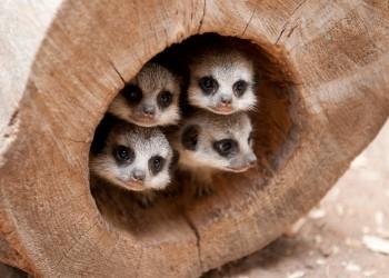 31811_Baby-Meerkats-Small