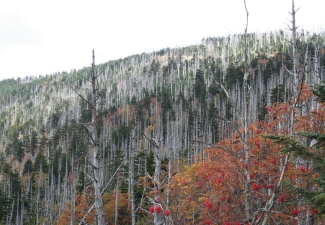 32292_Fraser-Fir-Devastation-Clingmans-Dome-in-Tenessee-Web