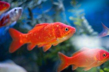 33411_Press-Gold-Fish-Online