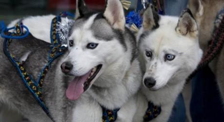Huskies at Christmas 800x450