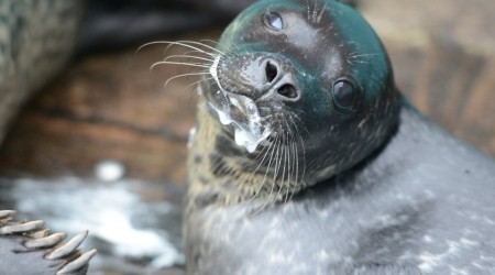 Leif, the seal