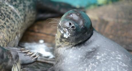 Leif, seal