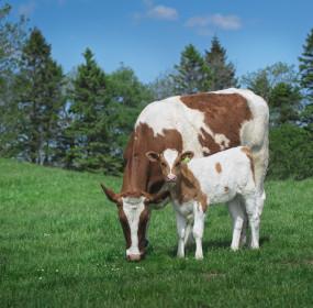 Cow 144