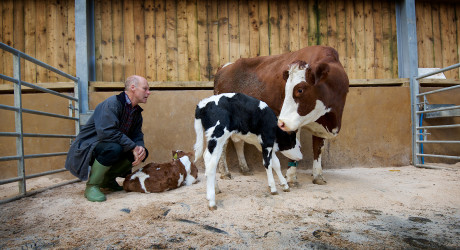 David Finlay with cow and calves