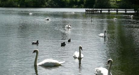 32640_Swan-lake-015