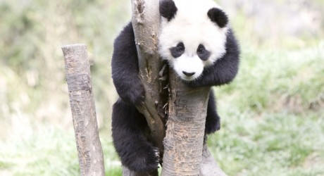 28425_1-panda-on-tree-IMAGE-COURTESY-OF-ROBYN-ROWLES