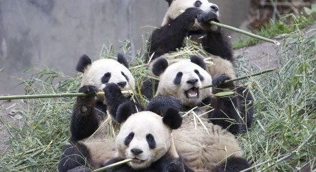 28501_4-pandas-eating-IMAGE-COURTESY-OF-ROBYN-ROWLES