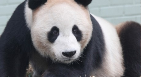 Giant_Panda_Yang_Guang_AM