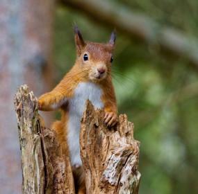 RedSquirrel_crop