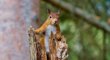 RedSquirrel_crop